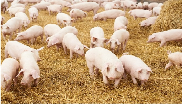 Pig Bedding